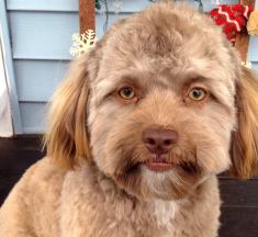 ¡Impresionante! Yogi el perro con cara humana
