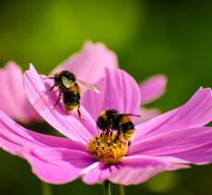¡No todo es miel! Las abejas son declaradas los seres vivos más importantes